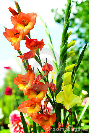 Free Colorful Gladiolas Royalty Free Stock Photos - 3772358