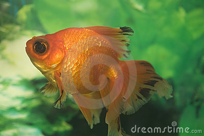 Colorful  goldfish