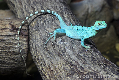 Colorful green basilisk lizard