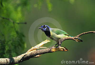 Colorful Green Jay