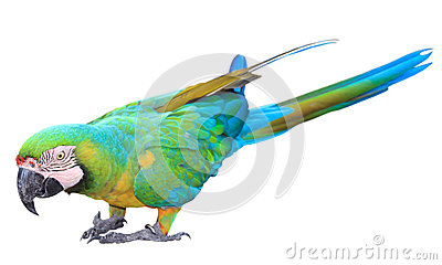 Colorful Green parrot macaw isolated