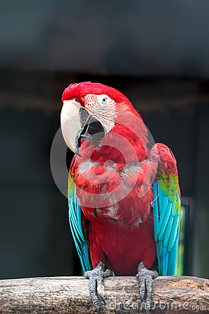 Colorful green winged macaw