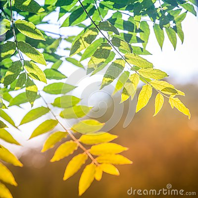 Free Colorful Green-yellow Ash Tree Leaves In The Rays Of The Warm Sun As A Symbol Of The Passage From Summer To Autumn Stock Photos - 102038553