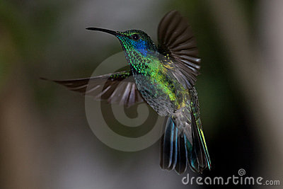 Colorful hummingbird from Costa Rica in flight
