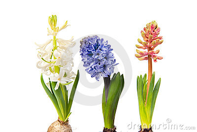 Colorful Hyacinths