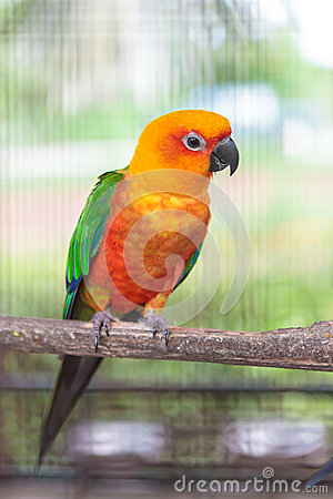 Colorful jandaya conure