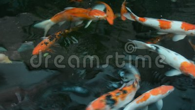 Colorful japanese carp fish koi pet is swimming in the for Koi fish swimming pool