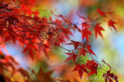 Colorful Japanese Maple