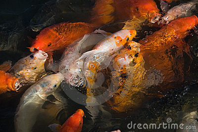 Colorful koi carps in the pond