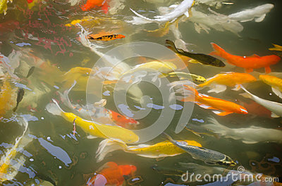 Colorful koi fish in the pond stock photo image 46814966 for Colorful pond fish