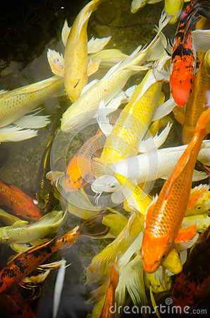 Colorful koi fish in the pond stock photo image 46814972 for Colorful pond fish