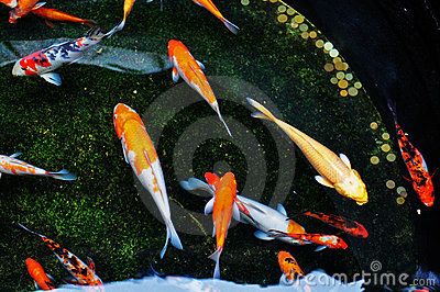 Colorful koi fish swimming in the pool
