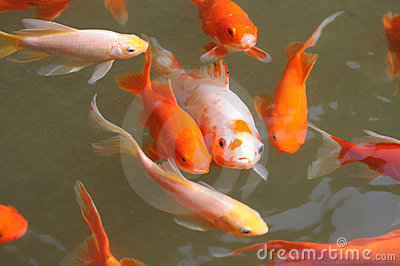 Colorful koi fish swimming in water stock photos image for Koi fish in water