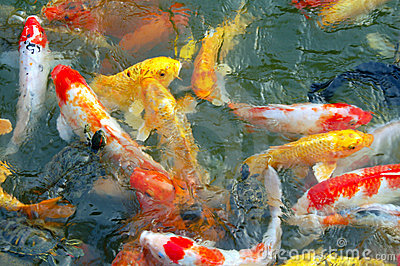 Colorful koi fishes swimming in pond royalty free stock for Koi pond music
