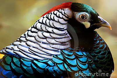 Colorful lady amherst pheasant