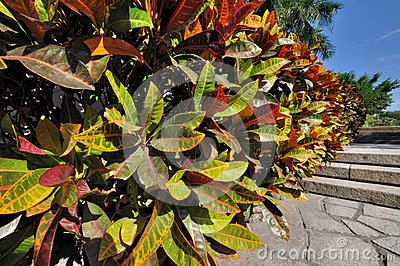 Colorful leaves of holly