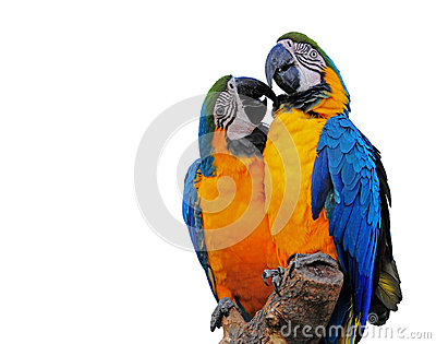 Colorful Macaws displaying affection