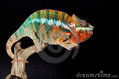 Colorful male chameleon