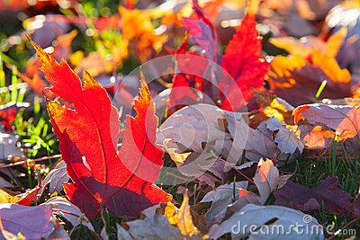 Colorful maple leaves on a grass field in the Fall season
