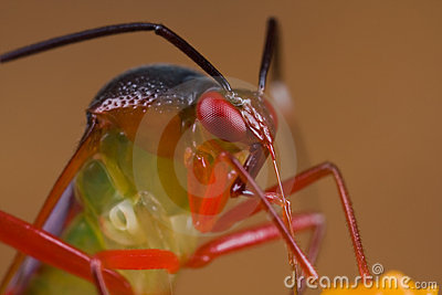 A colorful mirid bug/plant bug on orange wildflowe