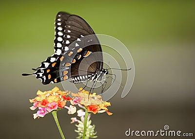 Colorful Monarch
