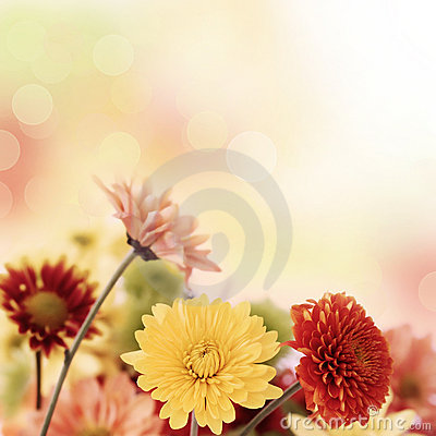 Free Colorful Mums Flowers On Warm Bokeh Background Stock Images - 16805924