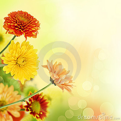 Free Colorful Mums Flowers On Warm Bokeh Background Stock Images - 16832934