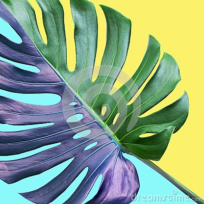 Free Colorful Of Tropical Monstera Leaves On Pastel Background.Nature Stock Photography - 122058892