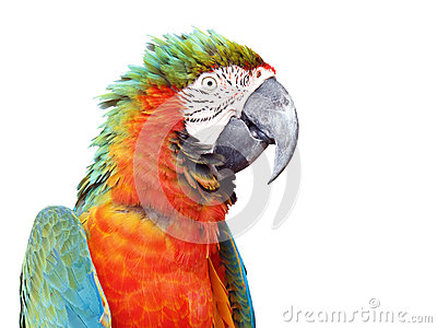 Colorful orange parrot macaw isolated