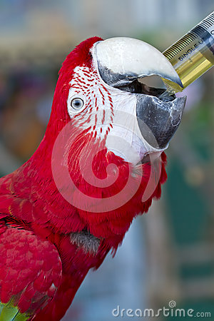 Free Colorful Parrot Bird,Green And Red Macaw Royalty Free Stock Photos - 77287938