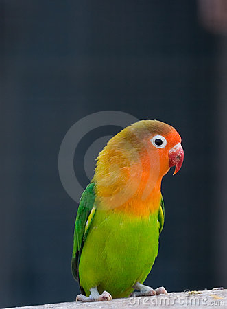 Colorful parrot ( love bird )
