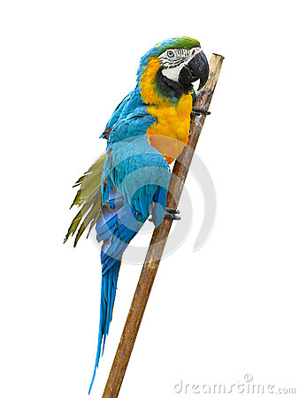 Colorful parrot macaw isolated on white background