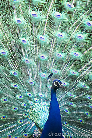 Colorful Peacock in full feather