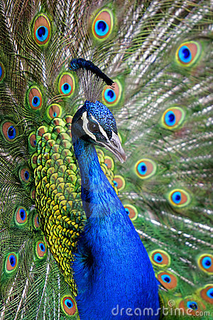 Free Colorful Peacock In Full Feather. Stock Images - 652344