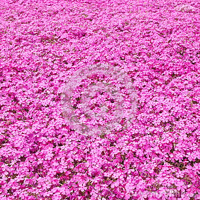 Colorful pink moss