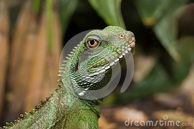 Colorful portrait of an iguana