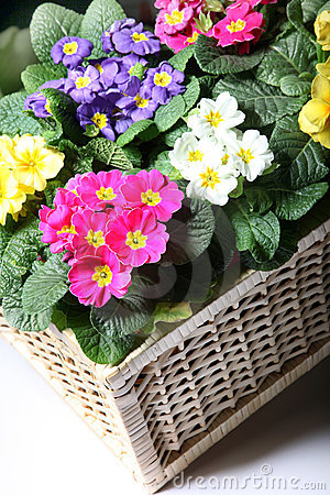 Colorful primroses in the basket