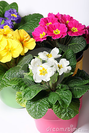 Colorful primroses in colorful pots