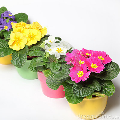 Colorful primroses in a row