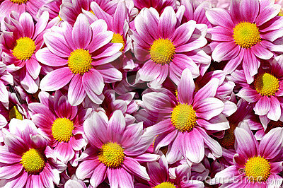 Colorful purple Chrysanthemum flowers background