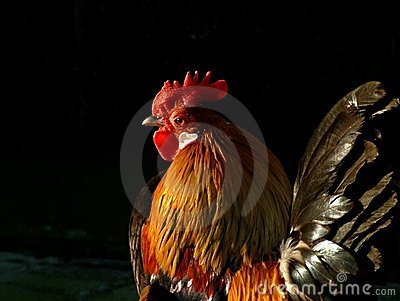 Colorful (real) cock I