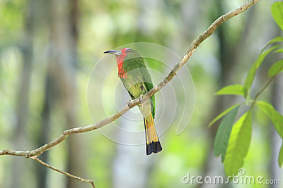 A colorful Red-Bearded Bee-eater