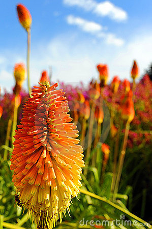 Free Colorful Red Hot Poker Royalty Free Stock Image - 13770566