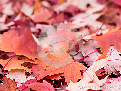 Colorful red leaves