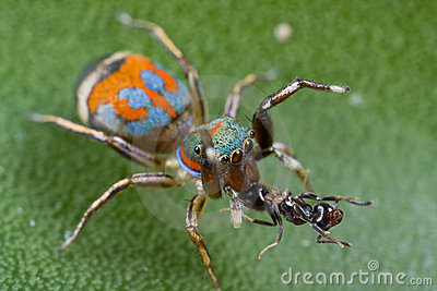 A colorful siler jumping spider with ant prey