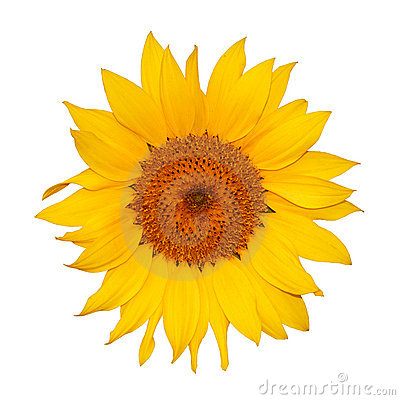 Colorful single sunflower