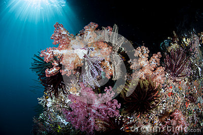 Soft corals and other invertebrates thrive on a healthy coral reef in ...