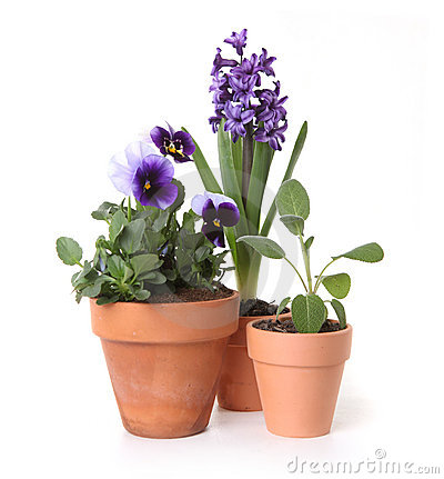 Colorful Spring Flowers of Pansies and Hyacinth in