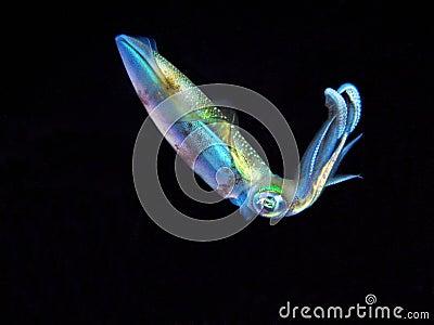 Colorful Squid