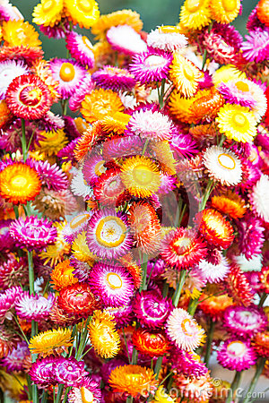 Colorful strawflowers